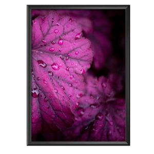 Plakat żurawka heuchera różowa po deszczu