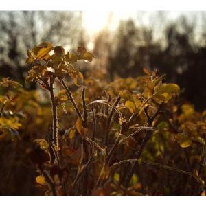 Obraz dzika róża w jesiennym słońcu
