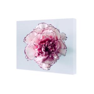 Obraz na płótnie biało-różowy goździk