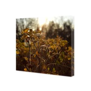 Obraz na płótnie dzika róża w jesiennym słońcu