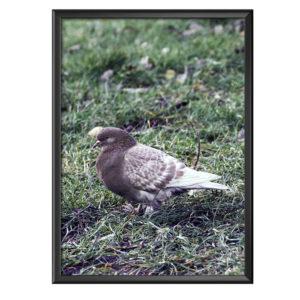 Plakat brązowy gołąb na trawie