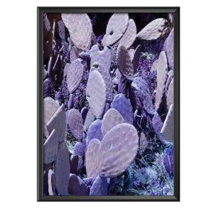 Plakat fioletowe kaktusy