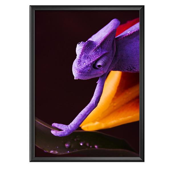 plakat fioletowy kameleon
